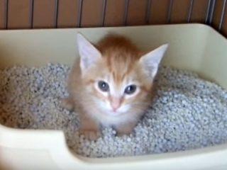 茶トラ子猫の必死のトイレ「うんち出るニャー!」
