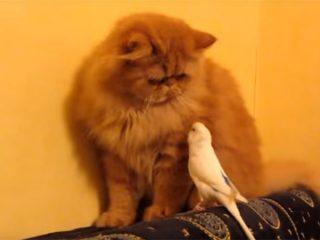 猫と遊びたくて仕方のないオウム♪
