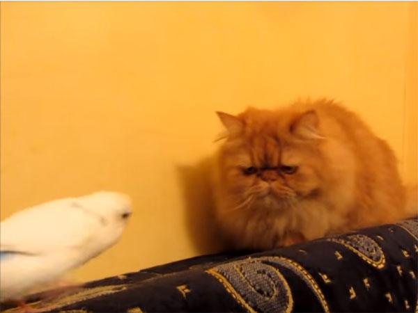 しつこいオウムに困る猫