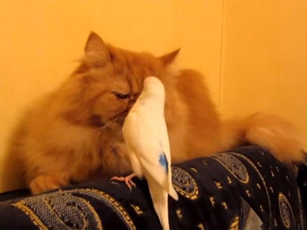 しつこく猫を誘うオウム「