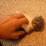 鳴きながら遊ぶスコティッシュフォールドの子猫♪