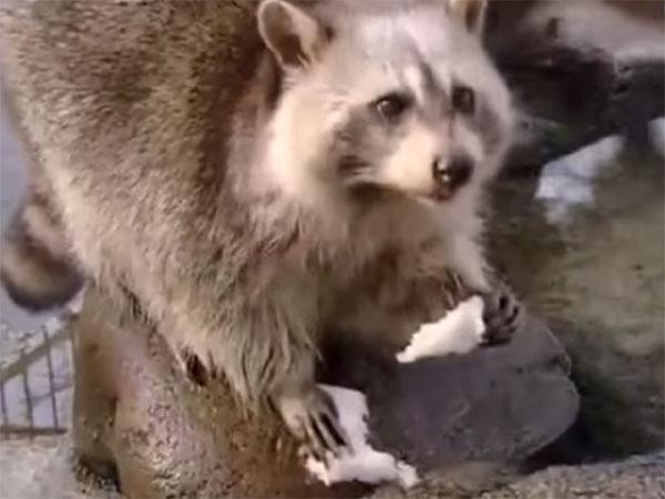 洗わずに綿菓子を食べるアライグマ