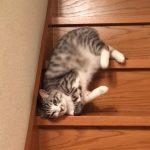 猫が流れるように落ちてくるぅ~。寝転がったまま、省エネで階段を降りる猫が可愛い!