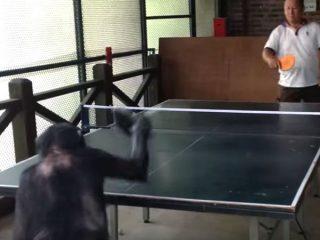 サルとおじさんが卓球対決! ピンポン玉を打ち返すサルの腕前が、もう人類と呼んでも構わないレベル