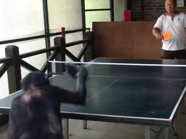 人間と卓球をする猿