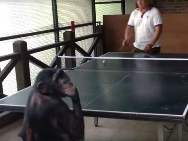 卓球をしながら、どや顔をする猿