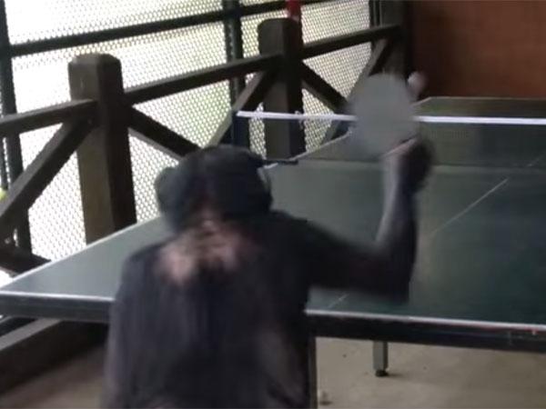 ピンポン玉を上手に打ち返す猿
