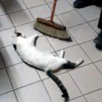 モップで何度も履かれては、また懲りずに戻って来て寝そべる猫♪ 実は掃除のおじさんと遊んでいる?