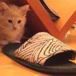 スリッパに突撃! 頭を突っ込んで、ササーッと滑るマンチカンの子猫が可愛い!