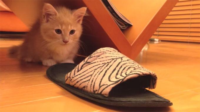 スリッパに狙いを定めるマンチカンの子猫