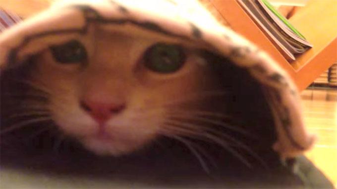 スリッパに顔を突っ込むマンチカンの子猫