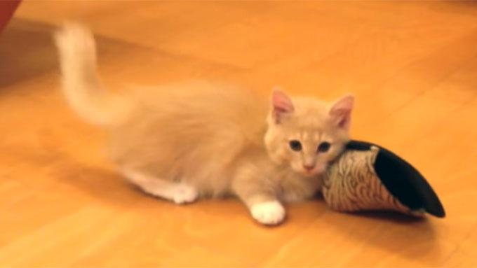 クルッと身構えるマンチカンの子猫