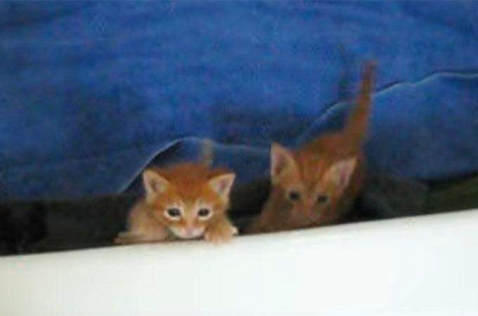 バスタブをよじ登ろうとする子猫