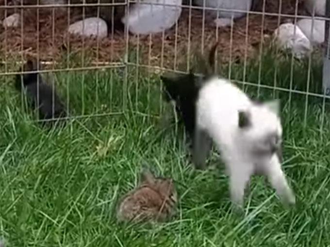 子ウサギみたいにピョンぴょんと跳ねる子猫2