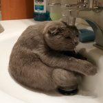 洗面台のシンクの中で、スコ座りする猫。水を飲みたいのか、水浴びをしたいのかは不明です(笑)