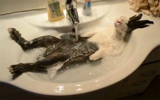 洗面台のシンクの中で、シャンプーされるウサギ。リラックスしてお鼻をヒクヒクさせています♪