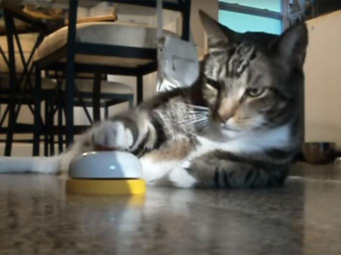 ベルを連打してオヤツを催促する猫
