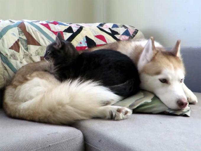 ハスキー犬を寝床にする猫