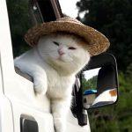 軽トラの窓から顔を出すおじさん猫! YouTubeで人気の「かご猫」のしろちゃんでした♪
