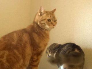 怒って威嚇する猫が、滑ってコケた!  でも、それを見なかったことにする優しい猫♪