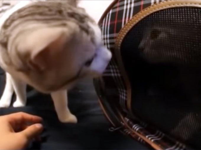 子猫と初対面する先住猫
