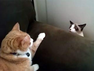 ゆっくり現れる猫と、待ち構える猫! 睨み合って一触即発!かと思いきや、その結末に笑えます♪