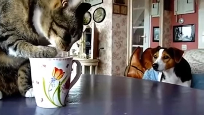 マイペースでミルクを舐め続ける猫