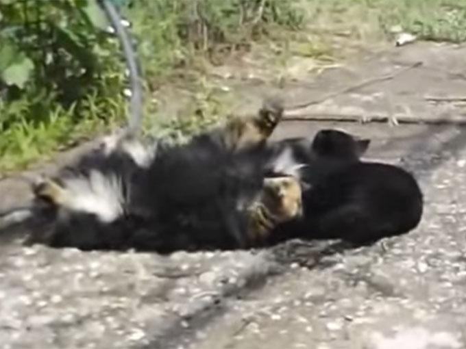 猫に倒される犬