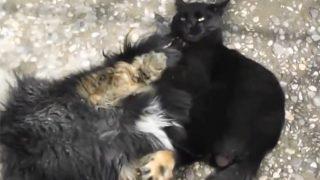黒猫の見事なスリーパーホールド! 猫が犬に、プロレス技を決める!
