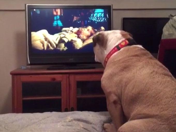 テレビのホラー映画を見ているブルドッグ