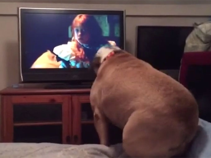 ブルドッグがテレビに向かって吠える