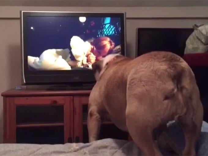 立ち上がって、テレビに吠えるブルドッグ