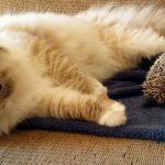 猫がハリネズミの上に座ると、こうなる! コントのような動画に爆笑♪