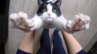 「抱っこしてニャ!」 バンザイして必死におねだりする猫が可愛い過ぎる♪