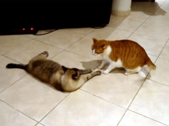威嚇する茶猫