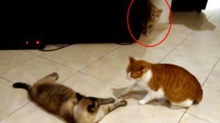 威嚇し合う二匹の猫!見守る第三の猫! 一触即発の場面に意外な結末!