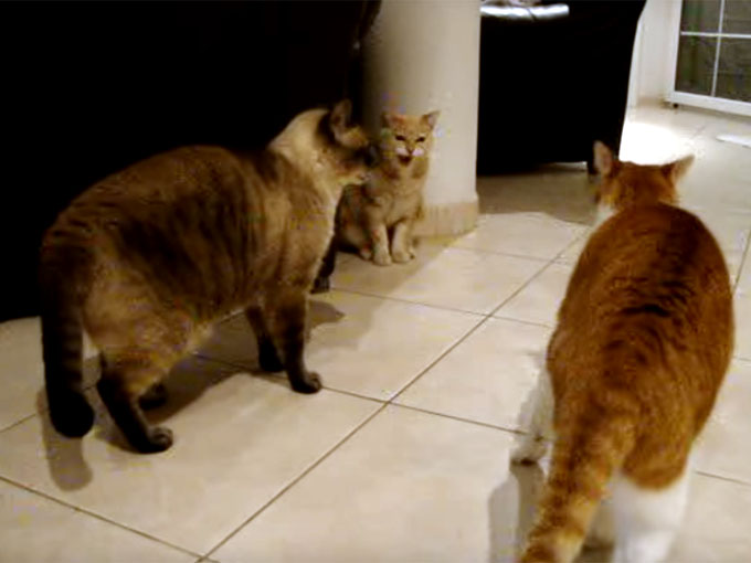 威嚇される茶猫