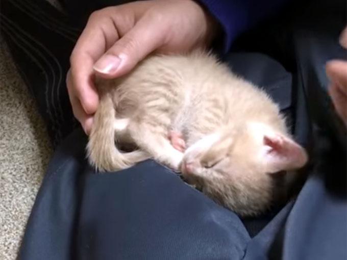 お父さんの膝の上で眠る子猫