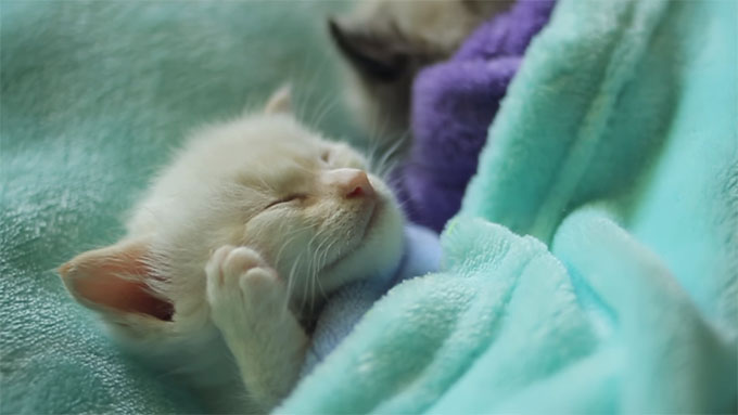 可愛い寝姿の白猫の子猫