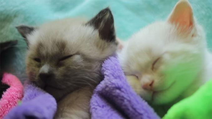 並んで寝る子猫