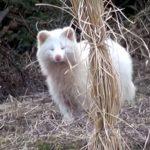 散歩道で白タヌキに出会った! 幸運を呼ぶ縁起の良い動物