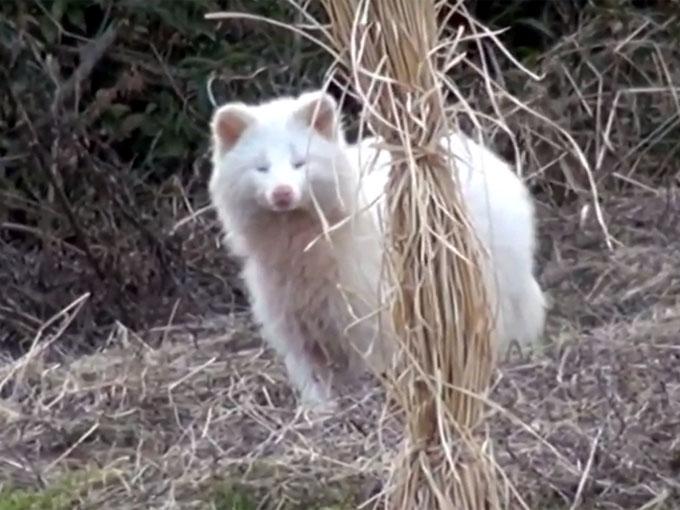 茂みの中から現れた白タヌキ