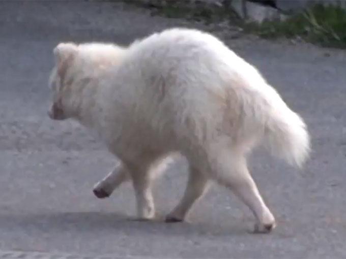 道路を渡る白タヌキ