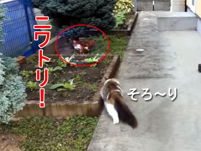 ニワトリを発見したメインクーンのマロ