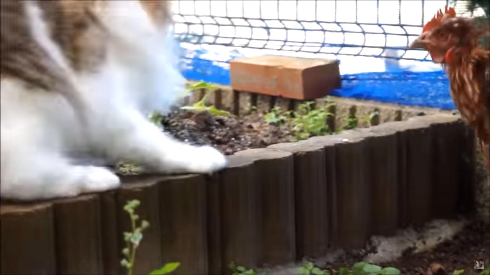 猫に反撃するニワトリ