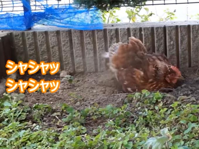 庭の土を掘り返すニワトリ