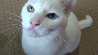 「おやつニャー♪」スリスリ甘える白猫ユキ。食べている顔も可愛い!