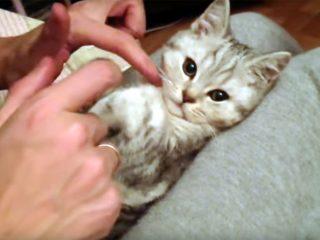 膝の上で寝る子猫♪ ぬいぐるみのように激カワです!
