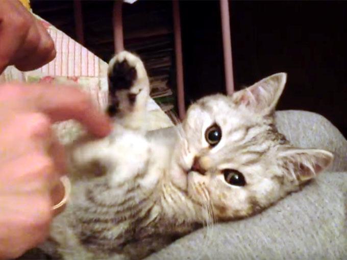 お手々を下げられる子猫