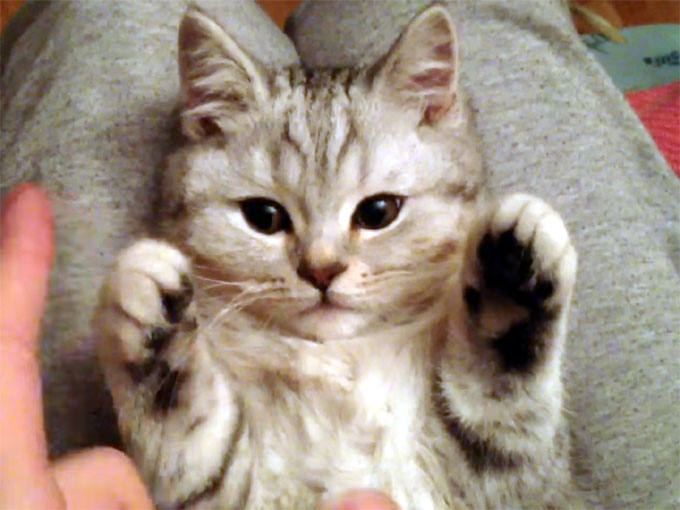 膝の上で遊ばれる子猫